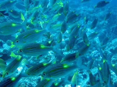 IMG2938-goatfish-small.jpg